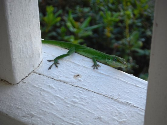 Elizabeth Pointe Lodge: Gecko hanging out on our balcony