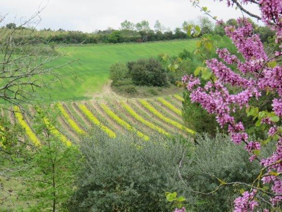 Saint-Hilaire, Prancis: Paisaje de viñedos próximos a la Abadia