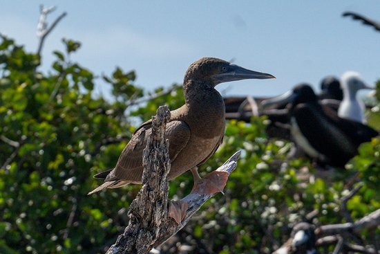 North Beach Island: Brown Booby observed at the Magnificent Frigate Sanctuary
