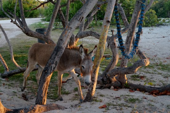 North Beach Island: Resident Donkey