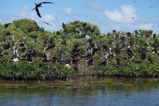 North Beach Island: Magnificent Frigates at the Bird Sanctuary