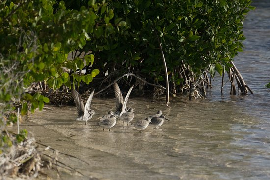 North Beach Island: A flock of resident, non-breeding sanderlings in the Lagoon