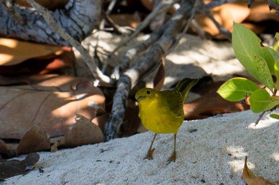 North Beach Island: Yellow Warbler