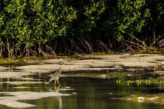 North Beach Island: Yellow-crowned Night Heron in the Lagoon