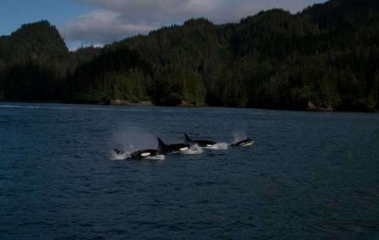 Valdez, AK: Orca
