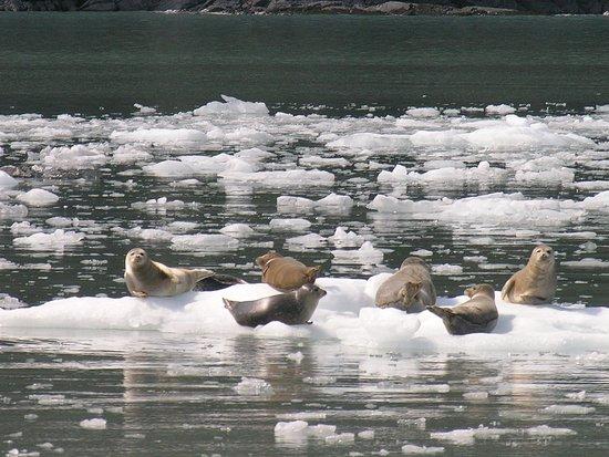 Valdez, Αλάσκα: Harbor Seals