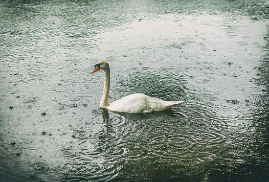 Lymm, UK: Swan in the rain.