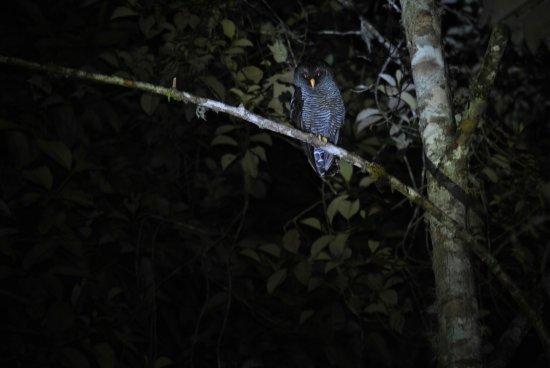 "Cosanga, Ecuador: ""San Isidro"" Owl"