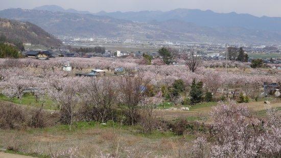 Chikuma, Japonia: あんずの花畑