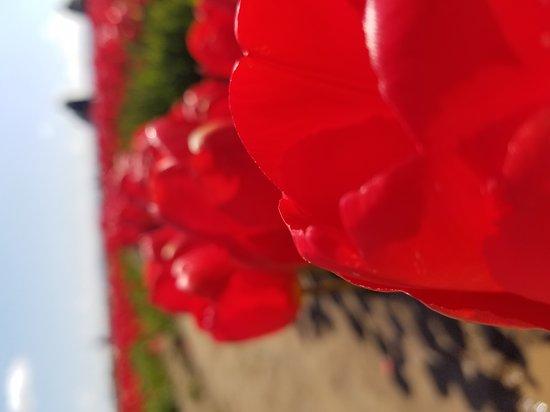 Woodburn, Όρεγκον: Wooden Shoe Tulip Farm