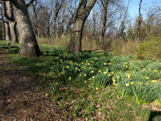 Lisle, IL: April Daffodils