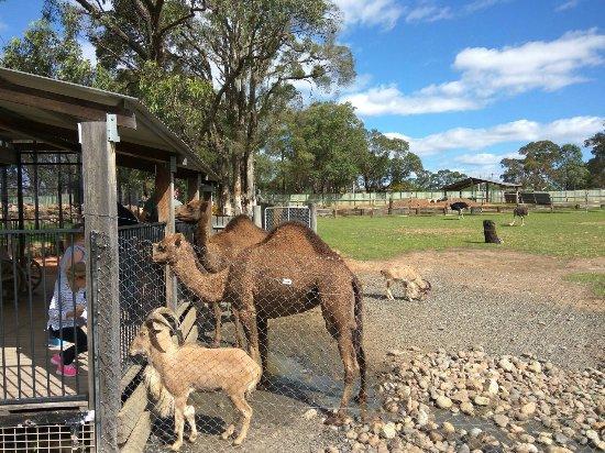 Nulkaba, Αυστραλία: feeding camels