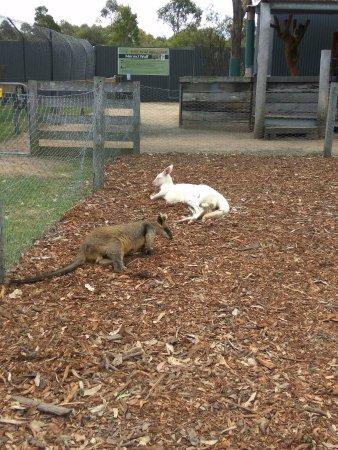 Nulkaba, Αυστραλία: Wallaby