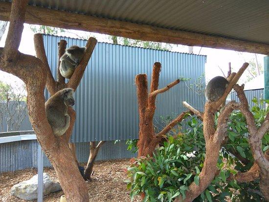 Nulkaba, Αυστραλία: Koalas