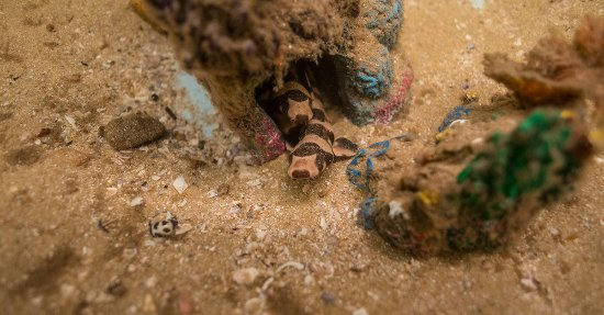 Port Stephens, Australien: Brown Banded Bamboo Shark Pups