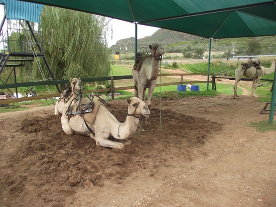 Wilgewandel Holiday Farm: The Camels