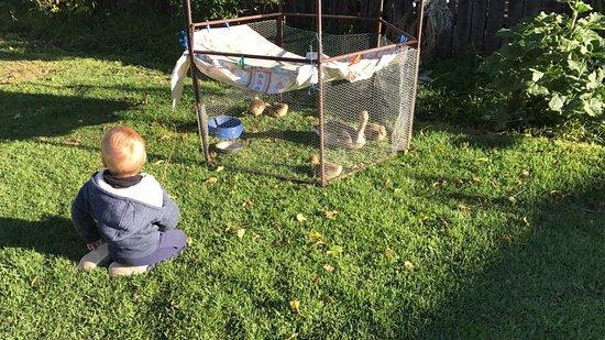 Sunnyside Guest Farm : Goslings