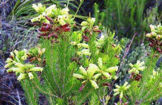 Hermanus, Zuid-Afrika: stunning flowers