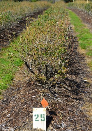 Summerfield, FL: Rows of blueberry bushes!
