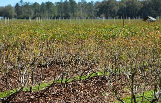 Summerfield, FL: Lots & lots of blueberry fields!