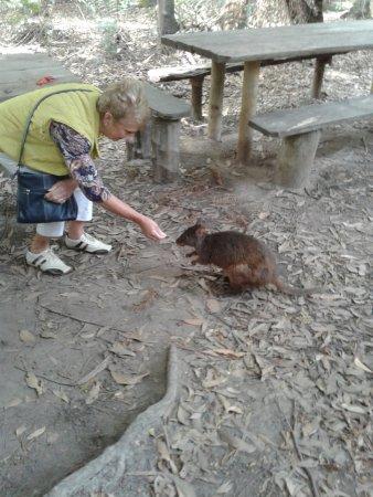Arthur River, Australia: My wife feeding Rosie the wallaby