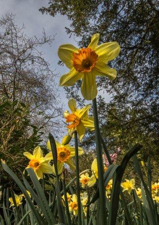 Berkeley Castle: Daffodils in the Grove