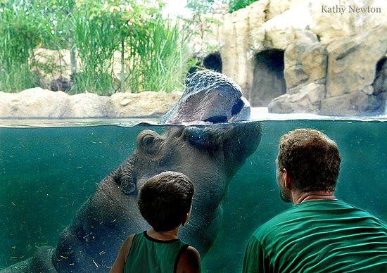 The Cincinnati Region: Hippos at Cincinnati Zoo & Botanical Garden