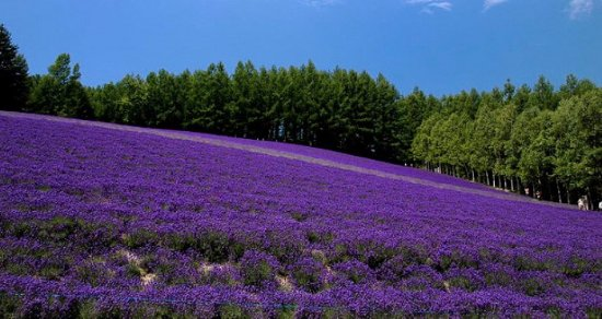 Nakafurano-cho, Japan: Amazing lavender view but you need to climb up the hill!