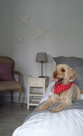 West Wittering, UK: Beau, our cockapoo chilling in our room!