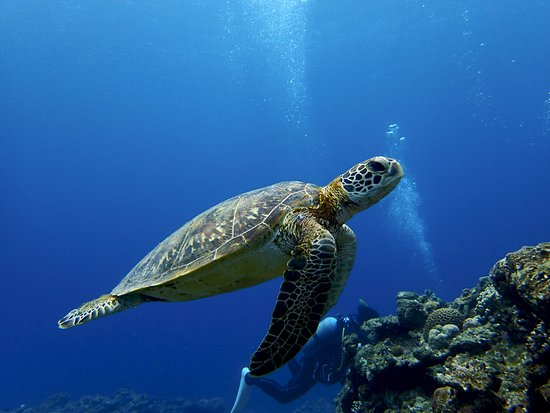 Kadena-cho, Japan: Tartaruga - Aloha Divers Okinawa