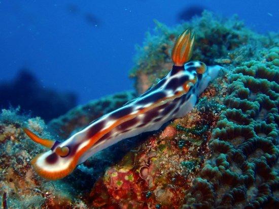 Kadena-cho, Japan: Lesma do Mar - Aloha Divers Okinawa