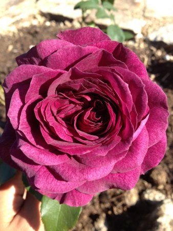 Mandala Gardens: best smelling rose in the garden