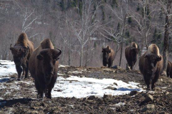 Val-des-Lacs, Canadá: Visite de la réserve de bisons