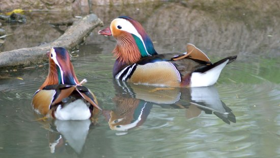 Slimbridge, UK: Mandarin Duck