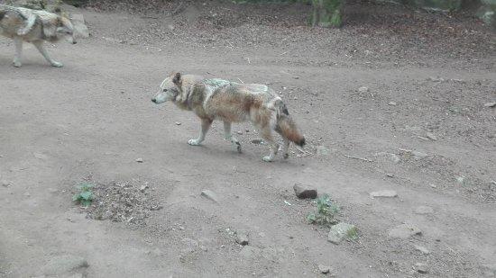 Pont-Scorff, France: Deux pauvres loups tournant en rond...