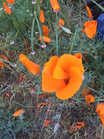 Antelope Valley California Poppy Reserve照片