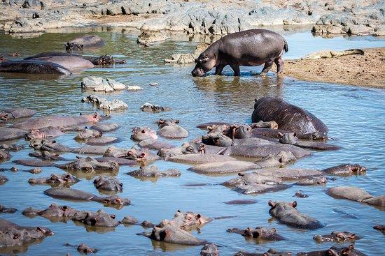 Serengeti Hippo Pool (Charca de Hipopótamos del Serengeti)
