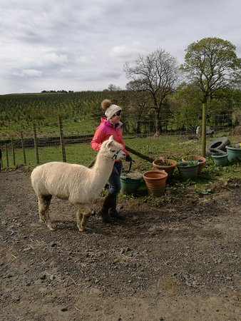 Lanark, UK: A fun wee outing to Netherfield Alpacas, highly recommend it for the feel good factor!