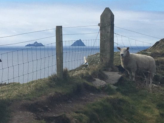 Cratloe, Irland: The Skellig Islands and a sheep at Bray head.. we bring all visitors here on the Ring of Kerry