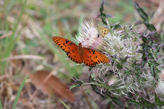 White Springs, FL: Gulf Fritillary butterfly