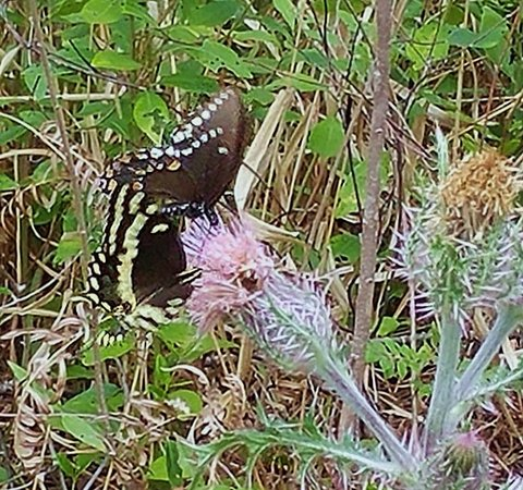 White Springs, FL: Swallowtail butterflies on thistle