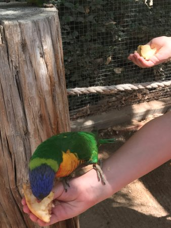 Litchfield Park, AZ: My grandson feeding parrot quartered apples.