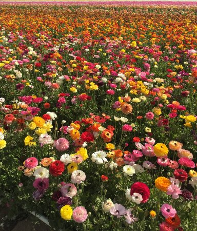 Several Acres Of Flowers Picture Of The Flower Fields At