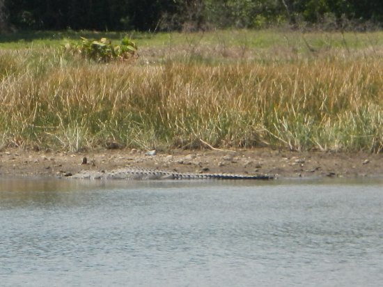 Lehigh Acres, FL: A gator rests across the pond