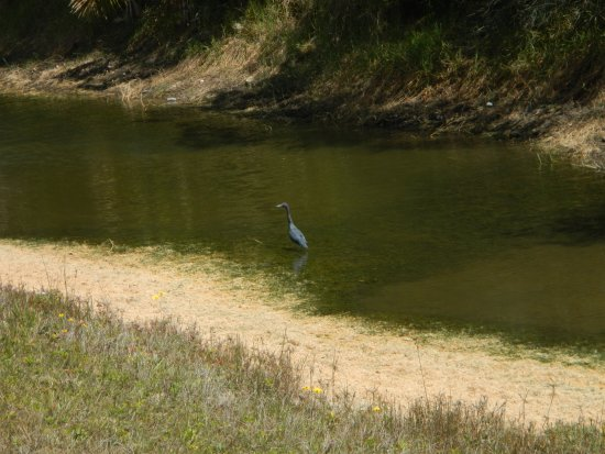 Lehigh Acres, FL: A little green heron wading