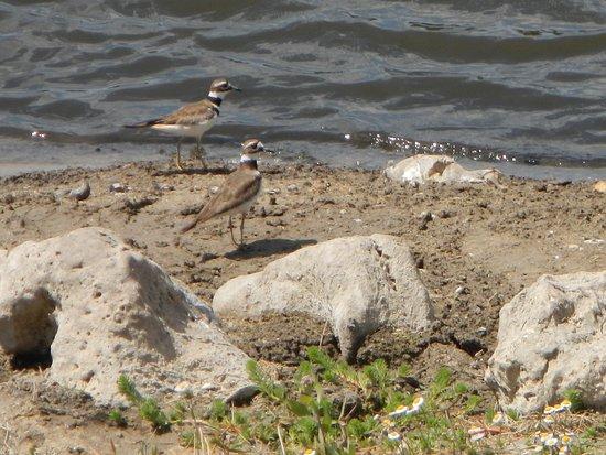 Lehigh Acres, Φλόριντα: Shorebirds stop for a drink