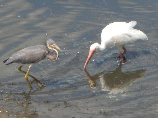 Lehigh Acres, Φλόριντα: A heron and white ibis