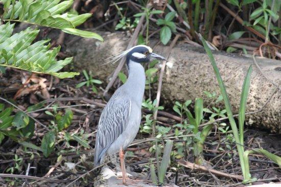 Port Saint Lucie, FL: Yellow Crowned Night Heron