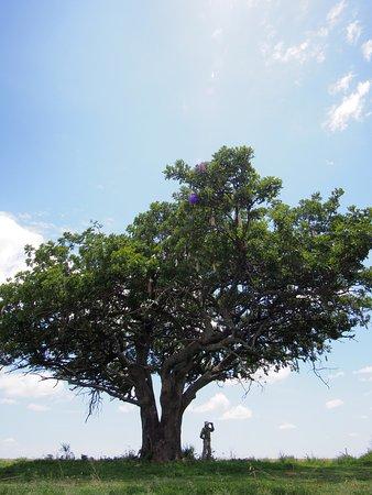 Región de Arusha, Tanzania: saugae tree