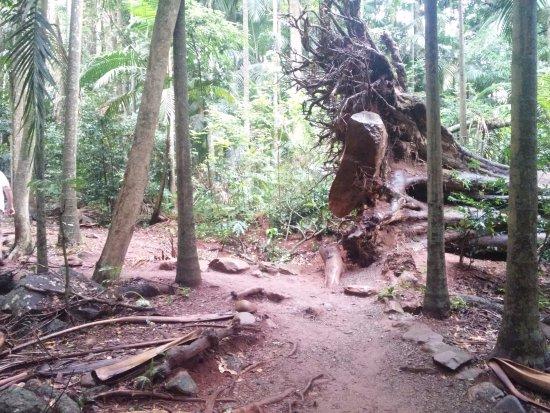 Mont Tamborine, Australie : increibles formaciones en esas raices